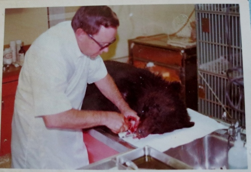 A bear getting dental surgery