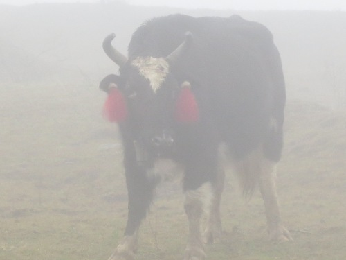 Yak in the mist