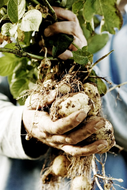 These heirloom potatoes become award-winning vodka. Photo love: Woody Creek Distillers