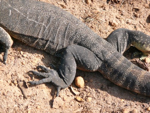 Goanna: the other white meat. Snapped on Kangaroo Island.